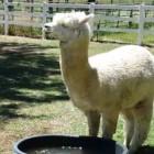 【動画】水浴びをしたいのに桶の中に入れなくて困り顔のアルパカが可愛い