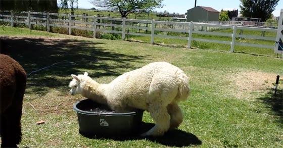 水浴びをしたいのに桶の中に入れなくて困り顔のアルパカが可愛い
