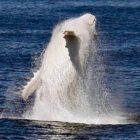 【動画】これは神々しい...オーストラリア近海で発見された、真っ白なアルビノのザトウクジラの映像と写真